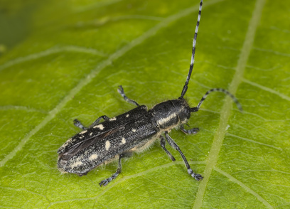 Small poplar borer (Saperda populnea) sitting on leaf.