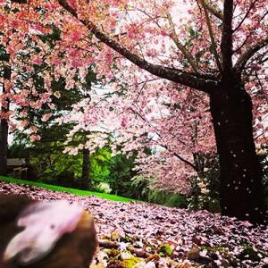 cherry-blossom-NW-Tree