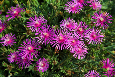 ice plant fire resistant