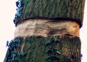 tree girdling wikipedia