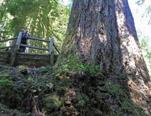 largest tree doerner fir oregon