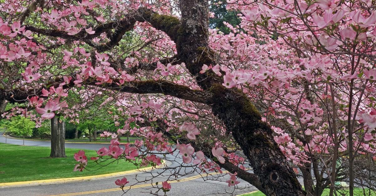 Portland Trees