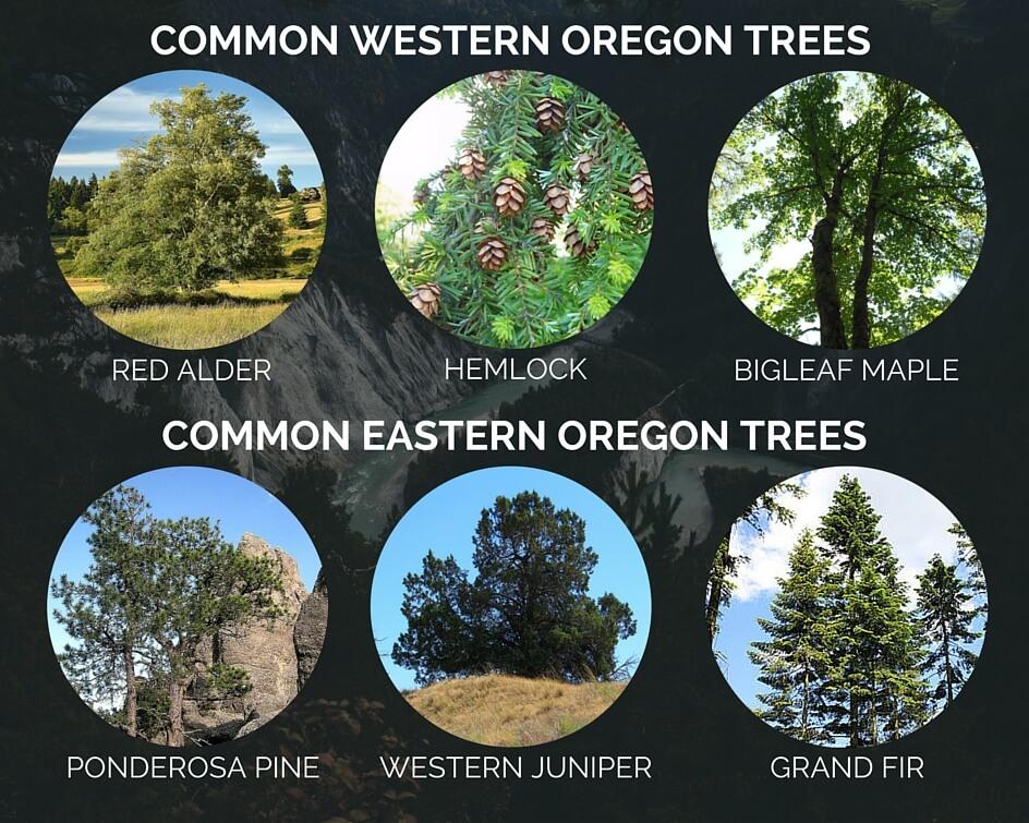 common eastern oregon western oregon trees
