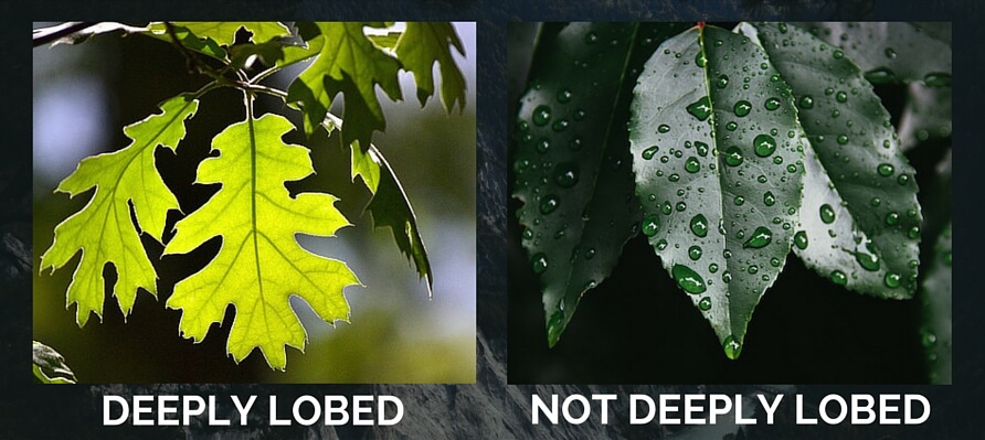 not lobed leaves