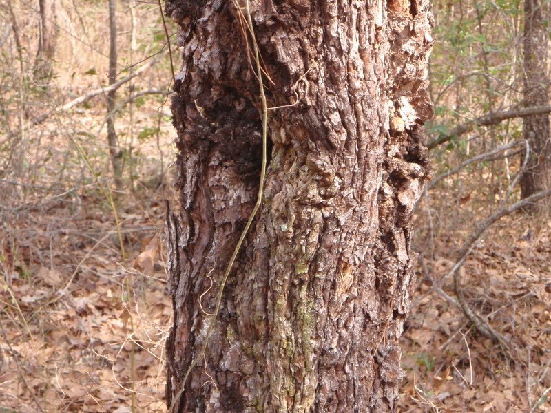 Infected Tree Disease