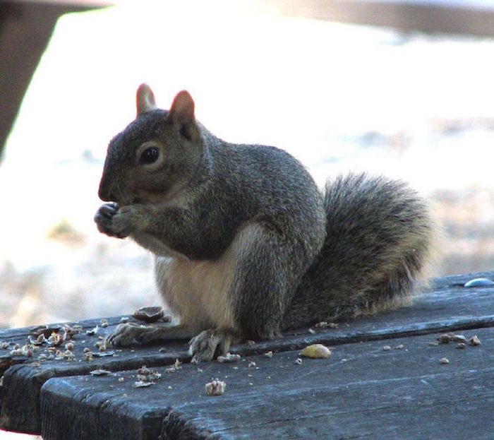 Western Squirrel Loves a Nut!