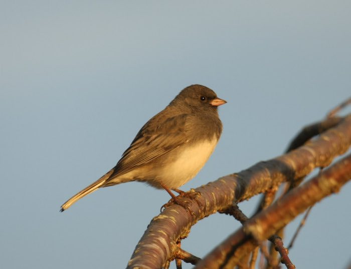 Dark Eyed Junco Bird in Tree