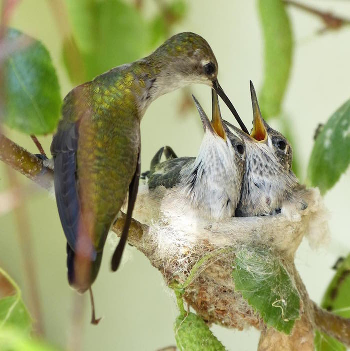 hummingbirds-nest