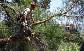 municipal tree services
