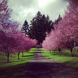 cherry-trees-nw-tree