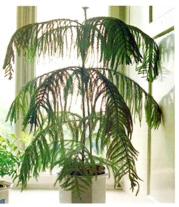 Norfolk-Island-Pine-Araucaria-heterophylla_t