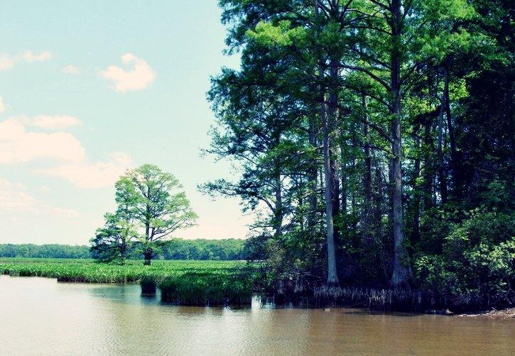 cypress-tree-riverbank-flooding
