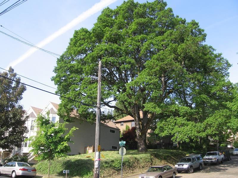 Corbett Oak Tree